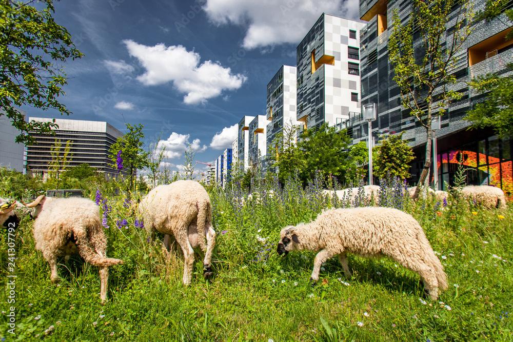 Fototapeta Moutons en Tranhumance Urbaine
