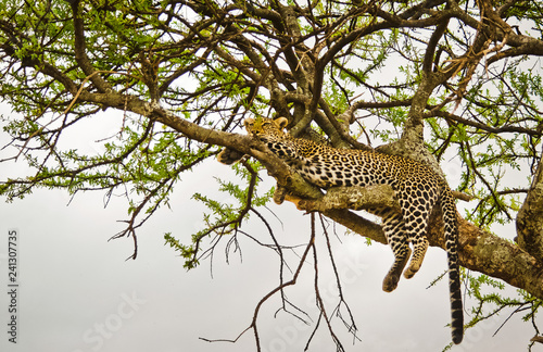 Fotografía  Leopard on a tree in its natural habitat in the African savannah