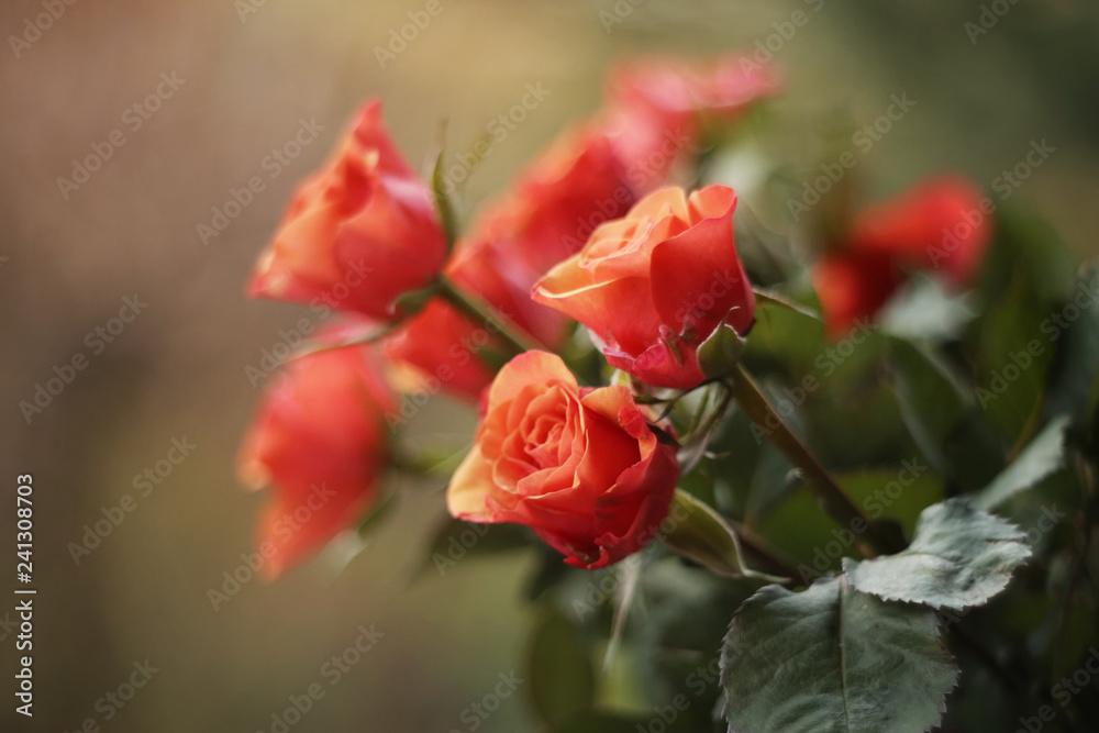 Fototapety, obrazy: Bukiet Róż