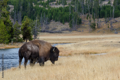 Fotografie, Obraz  Bison near Nez Perce Creek in Yellowstone National Park