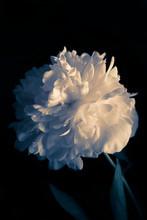 Photo White Flowers Peonies