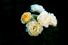 Branch Of Sweet Orange Yellow Roses In The Garden