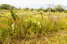 Rusted Old Barbed Wire Fence Covered In Cactus And Texas Wildflowers