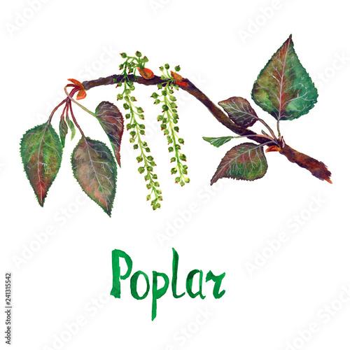 Poplar (Populus nigra) branch with green leaves and seeds, hand painted watercol Tapéta, Fotótapéta