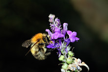 Common Carder Bumble Bee Bombus Pascuorum Pollinating Flower