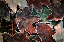 Frosted Dry Autumn Leaves. Win...