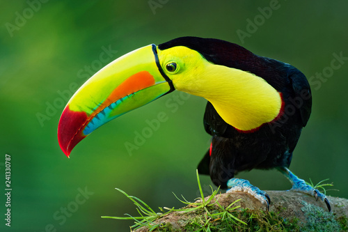 Keel-billed Toucan - Ramphastos sulfuratus also known as sulfur-breasted toucan or rainbow-billed toucan
