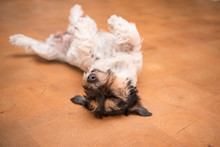 Dog Laying Upside Down On Back. Naughty Jack Russell Terrier Doggy