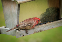 House Finch At Feeder, Eating Sunflower Seeds