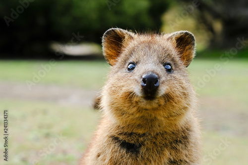 Photo  Quokka, Setonix brachyurus, on Rottnest Island, Western Australia