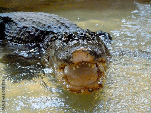 Cadres-photo bureau Crocodile crocodile in water tanks