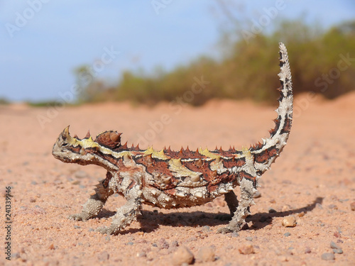 A Thorny Devil lizard on a red sand road Wallpaper Mural
