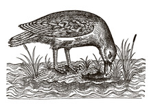 Seagull Sitting On A Small Island Eating A Fish. Illustration After A Historical Woodcut Engraving From The 16th Century