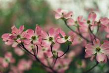 Closeup Of Pink Dogwood Flower...