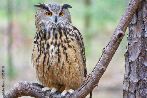Fotomural Mathilda, a Great Horned Owl, in Spring