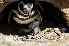 Magellanic Penguins (Spheniscu...