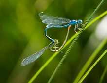 Goblet-marked Damselfly (Erythromma Lindenii), Pairing On Blade Of Grass, Pairing Wheel, Bavaria, Germany, Europe