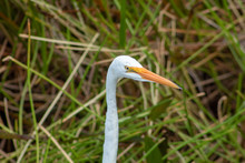 Tall White Egret Inn The Swamp