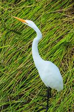 Tall White Egret Inn The Swamp