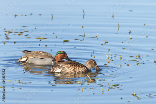 Pair of Green Winged Teal duck foraging for food in shallow marsh water. The green winged teal is a common and widespread duck.