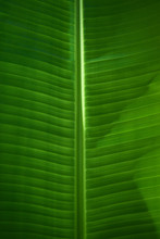 Close-up Of Green Banana Leaf