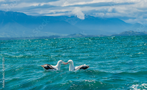 Vászonkép An Albatross Pair Swimming in the Ocean Off the Coast of New Zealand