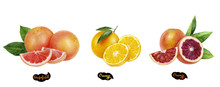 Grapefruit, Orange, Blood Orange Set Watercolor Hand Drawn Illustration.