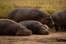 Two Hippos Standing And Two Lying Down