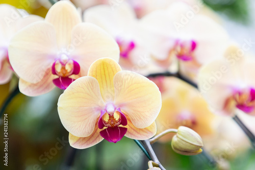 Obraz Orchid flower in orchid garden at winter or spring day. Phalaenopsis Orchid or Moth Orchid. - fototapety do salonu