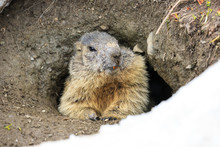 Marmotta Nel Parco Nazionale Del Gran Paradiso