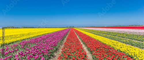Panorama of a colorful tulips field in Noordoostpolder