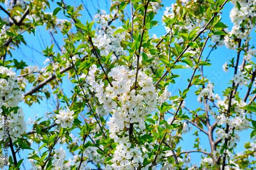 Naklejka premium Pięknie kwitnąca gałąź drzewa. Cherry - Sakura i niebo z naturalnym kolorowym tłem. Witaj wiosno.