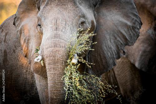 Photo  Elephant (Loxodonta africana) feeding. South Africa