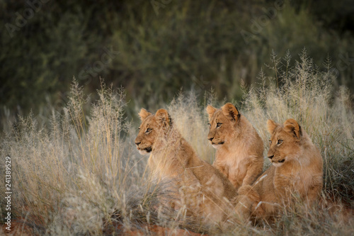 Photographie Lion (panthera leo) cubs in grass. South Africa