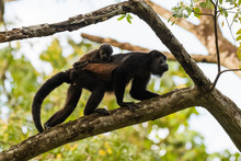 Wild Mantled Howler Monkey In ...