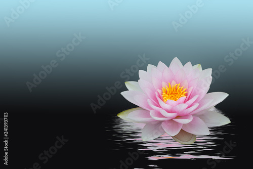 Photo Stands Water lilies rosa Seerose