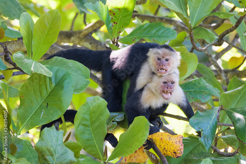 A pair of wild capuchin monkeys mating in an almond tree in the Carara National Canvas Print