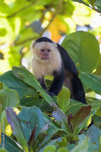 Valokuva  Wild capuchin monkey in an almond tree in the Carara national park in Costa Rica