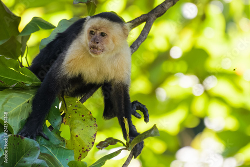 Wild capuchin monkey in an almond tree in the Carara national park in Costa Rica Wallpaper Mural