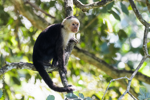 Fényképezés Wild capuchin monkey in a tree in the Carara National Park in Costa Rica