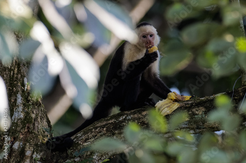 Photo A wild capuchin monkey eating a banana in a tree in the Carara National Park in