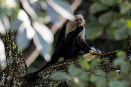 A wild capuchin monkey eating a banana in a tree in the Carara National Park in Canvas Print