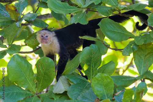 Photo  Wild capuchin monkey in an almond tree in the Carara National Park in Costa Rica