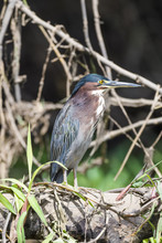 Green Heron In A Tree Above The Tarcoles River In Costa Rica