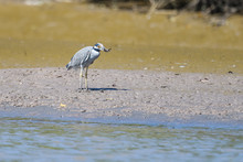 Yellow Crowned Night Heron Eating A Crab In The Mangroves Of The Tarcoles River In Costa Rica