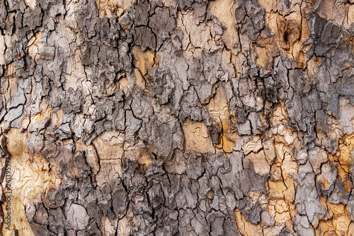 Fotografie, Obraz  Aged Platanus or plane tree peeling off bark, texture background