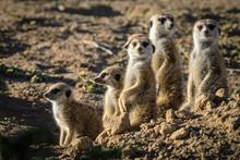 Meerkat Or Suricate (Suricata Suricatta). Kalahari. South Africa