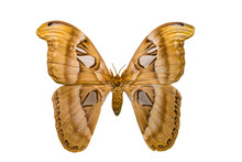 Giant Butterfly Atlas Moth Isolated On White Background