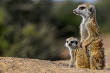 Meerkat Or Suricate (Suricata Suricatta). Kalahari Adult And Juvenile. South Africa