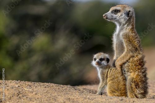 Stampa su Tela Meerkat or suricate (Suricata suricatta)